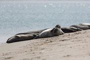 Seehunde, Norderney