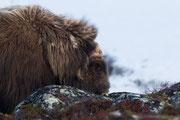 Moschusochse, Dovre Fjell, Norwegen