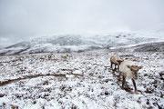 Rentiere in den Cairngorm Mountains