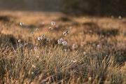 Wollgras im Großen Torfhaus Moor