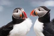 Papageitaucher, Insel Runde
