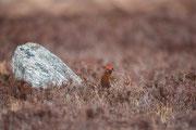 Schottisches Moorschneehuhn ♂