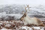 Rentier in den Cairngorm Mountains