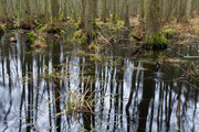 Erlenbruch im Darßwald