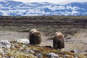 Moschusochsen, Dovre Fjell, Norwegen