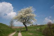 Ein später Frühlingstag am Panoramaweg zwischen Lichtenhain und Bad Schandau am 5-5-2013