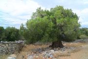 Olivenbaum, Insel Pag