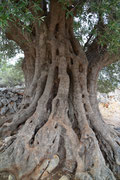 über 1600 Jahre alter Olienbaum, Insel Pag