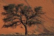 Baum im Namib -Naukluft- Park