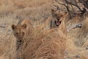 Löwenwinnen