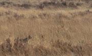 Afrikanische Wildkatze/Falbkatze