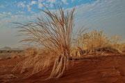 Wüstengras im Namib-Naukluft-Nationalpark