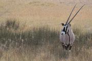 Oryx - Namibias Nationaltier