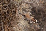 Unter den Nestern des Siedelwebers sollte man besonders aif Schlangen achten