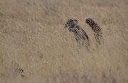 Kapborstenhörnchen