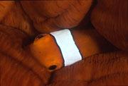 第17回 月間ダイバーフォトコンテスト  銅賞 「視線」 広瀬 晴夫  ニコンF4 105mmマクロ   ネクサスF4PRO  f16 1/60 YS-50 RVP 水深10m  撮影地:石垣島ミノカサゴの宮殿