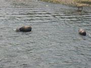 Badende Wasserbüffel