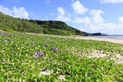 3246百名ビーチ(グンバイヒルガオ)