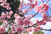 1196寒緋桜