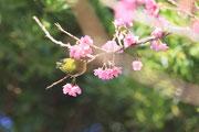 1315寒緋桜とメジロ