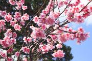 1200寒緋桜