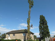 Gefahrenbaumfällung mittels Seilklettertechnik