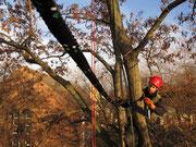 An die Leine genommen! Baumkronensicherung