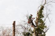 Baumfällung mittels Seilzugangstechnik