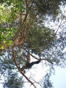 Baumfällung einer Kiefer mittels Seilzugangstechnik