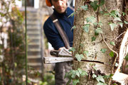 Baumfällung mittels Keiltechnik