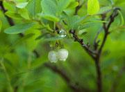 Bog bilberry
