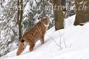 Luchs, NP Bayerischer Wald, Deutschland