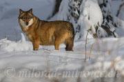 Wolf, NP Bayerischer Wald, Deutschland