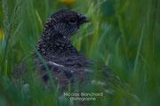 Logopède, plumage d'été, Isafjordur