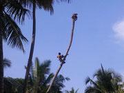 Die ersten Palmen, die für die Bungalows weichen müssen