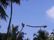 Beim Fällen der Palmen