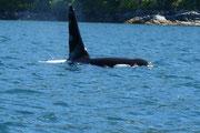 Orca - Bulle