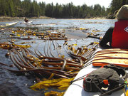 Kelp - großer Seetang