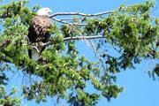 Bald Eagle - Weißkopfseeadler