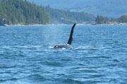Orca Spirit