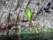 Seesterne am Fels warten auf die Flut