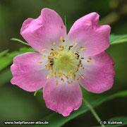 Die Blüte der Alpen-Heckenrose (Rosa pendulina) ist im Durchmesser nur wenige Zentimeter groß.