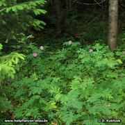 Die Blüten der Alpen-Heckenrose (Rosa pendulina) stehen meist einzeln. Blütenstände mit wenigen Blüten kommen ebenfalls vor.