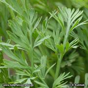 Goldmohn (Eschscholzia californica) Blätter