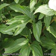 Chinesische Päonie (Paeonia lactiflora), Blätter
