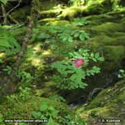 Die Alpen-Heckenrose (Rosa pendulina) ist eine Gebirgspflanze, hier an einem feuchten und recht schattigen Standort im Mangfallgebirge (Oberbayern).