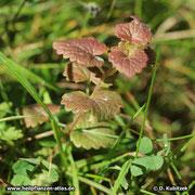 Gundermann (Gundelrebe), Glechoma hederacea, rot überlaufen