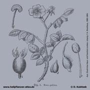 Essig-Rose, Rosa gallica