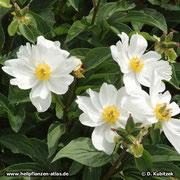 Chinesische Päonie (Paeonia lactiflora), Wuchsform