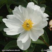 Chinesische Päonie (Paeonia lactiflora), Blüte